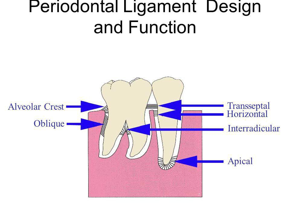 Periodontal Ligament Design and Function Alveolar Crest Oblique Transseptal Horizontal Interradicular Apical