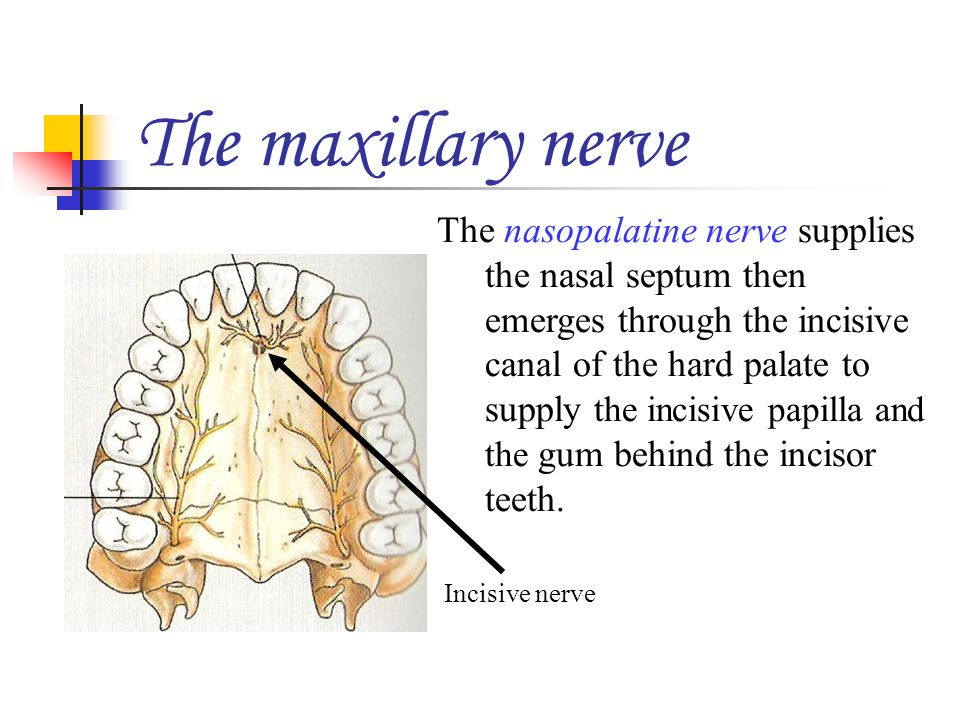 The maxillary nerve The nasopalatine nerve supplies the nasal septum then emerges through the incisive canal of the hard palate to supply the incisive