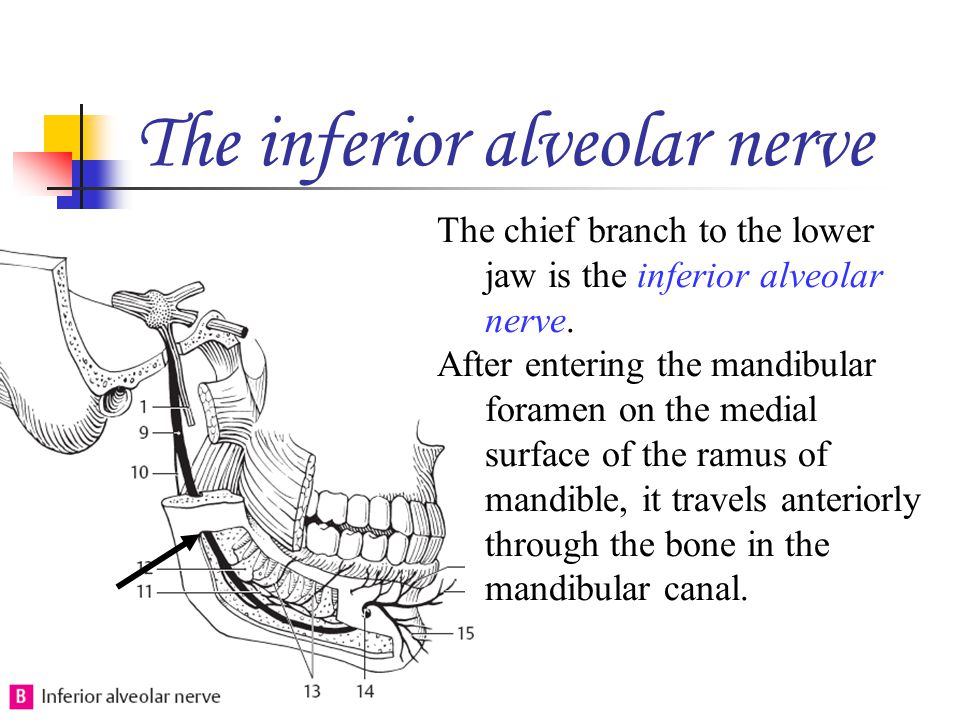 The inferior alveolar nerve The chief branch to the lower jaw is the inferior alveolar nerve. After entering the mandibular foramen on the medial surf