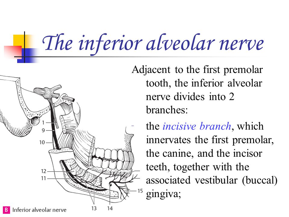 The inferior alveolar nerve Adjacent to the first premolar tooth, the inferior alveolar nerve divides into 2 branches: the incisive branch, which inne