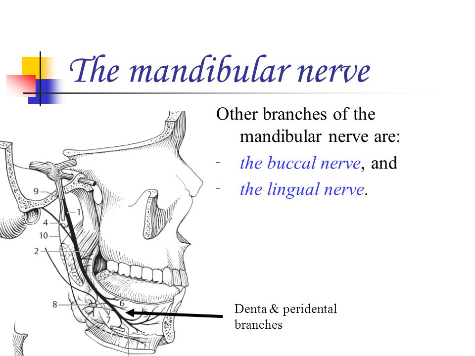 The mandibular nerve Other branches of the mandibular nerve are: the buccal nerve, and the lingual nerve. Denta & peridental branches