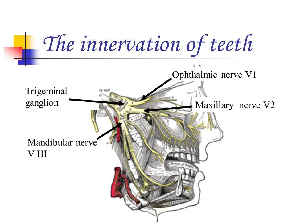 Mandibular nerve V III Trigeminal ganglion Ophthalmic nerve V1 Maxillary nerve V2 The innervation of teeth