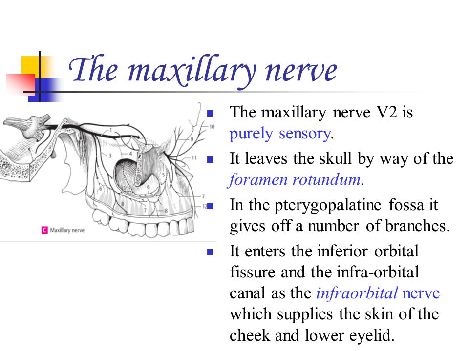 The maxillary nerve The maxillary nerve V2 is purely sensory. It leaves the skull by way of the foramen rotundum. In the pterygopalatine fossa it give