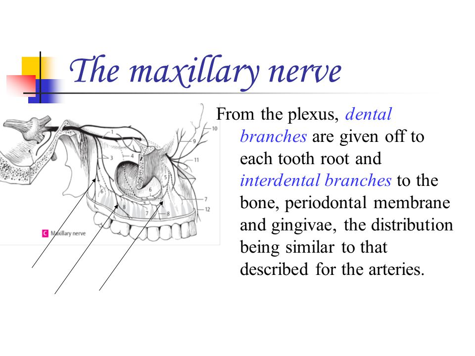 The maxillary nerve From the plexus, dental branches are given off to each tooth root and interdental branches to the bone, periodontal membrane and g