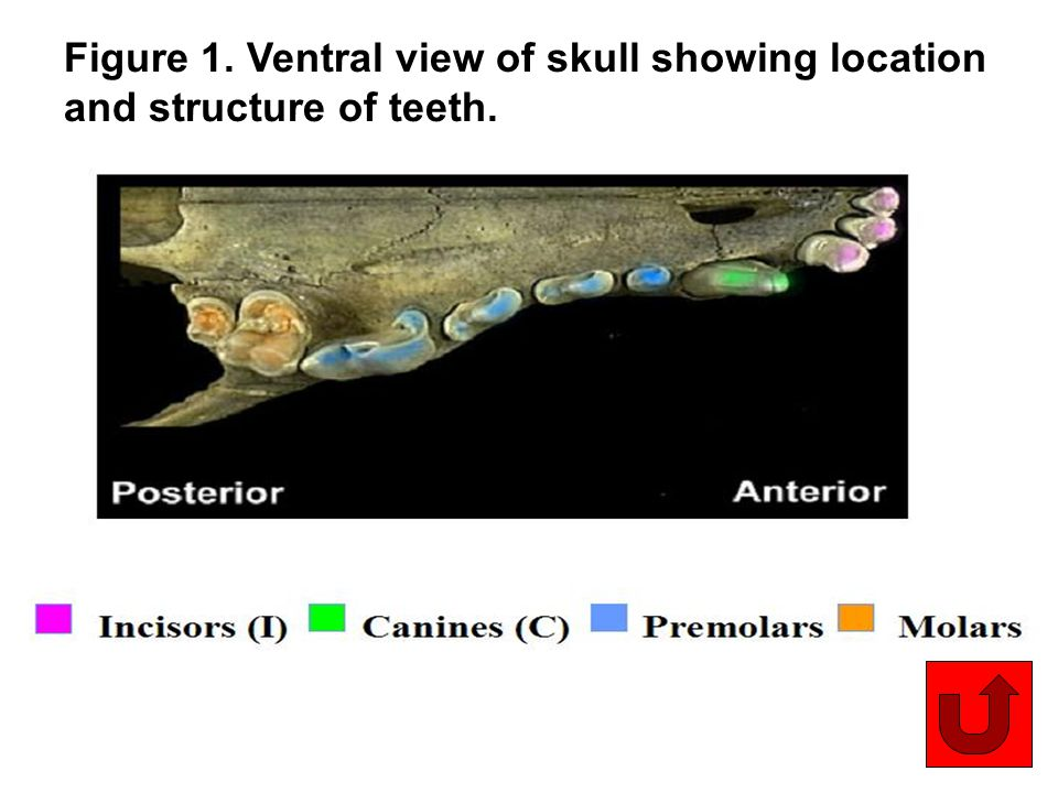 10 Figure 1. Ventral view of skull showing location and structure of teeth.