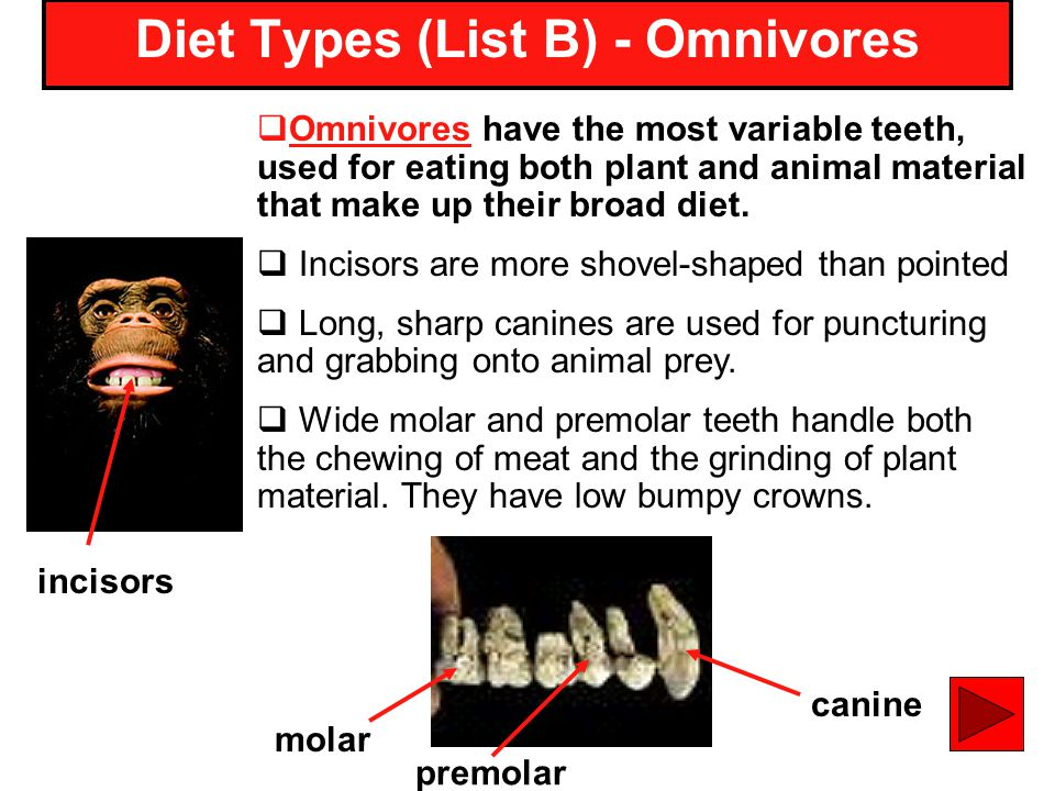 16 Omnivores have the most variable teeth, used for eating both plant and animal material that make up their broad diet. Incisors are more shovel-shap