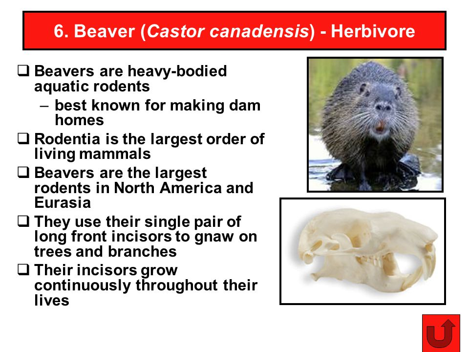 25 6. Beaver (Castor canadensis) - Herbivore Beavers are heavy-bodied aquatic rodents –best known for making dam homes Rodentia is the largest order o