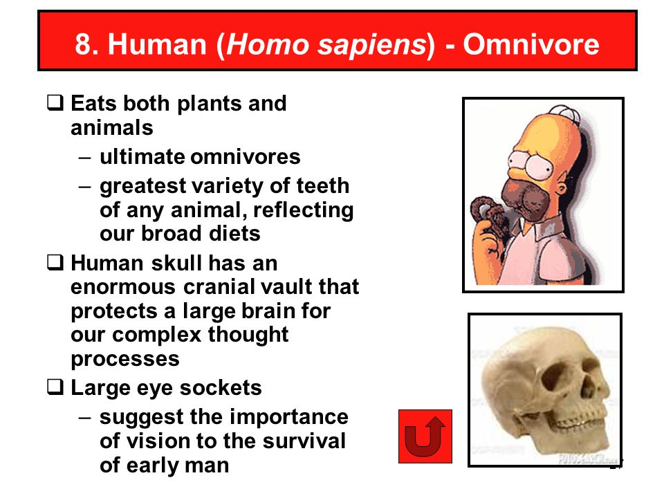 27 8. Human (Homo sapiens) - Omnivore Eats both plants and animals –ultimate omnivores –greatest variety of teeth of any animal, reflecting our broad