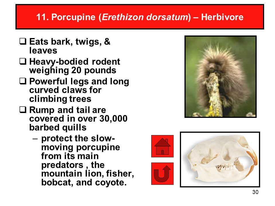 30 11. Porcupine (Erethizon dorsatum) – Herbivore Eats bark, twigs, & leaves Heavy-bodied rodent weighing 20 pounds Powerful legs and long curved claw