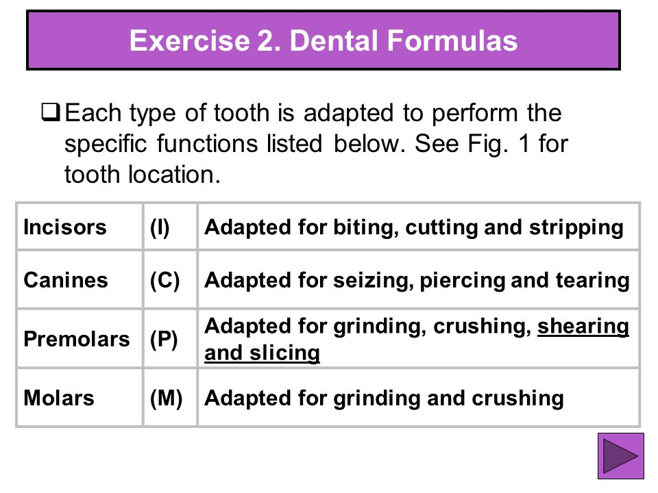 31 Exercise 2. Dental Formulas Each type of tooth is adapted to perform the specific functions listed below. See Fig. 1 for tooth location. Incisors(I