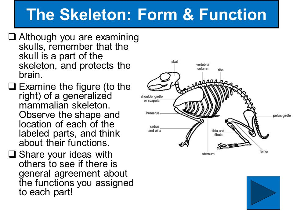 52 The Skeleton: Form & Function Although you are examining skulls, remember that the skull is a part of the skeleton, and protects the brain. Examine
