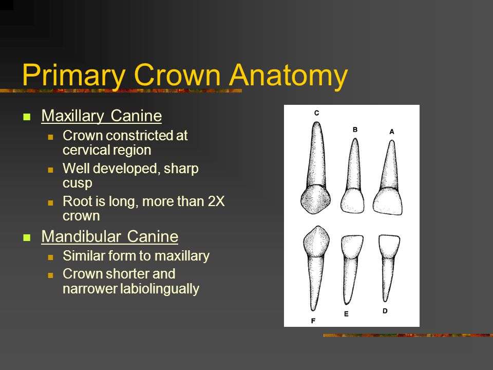 Primary Crown Anatomy Maxillary Canine Crown constricted at cervical region Well developed, sharp cusp Root is long, more than 2X crown Mandibular Can