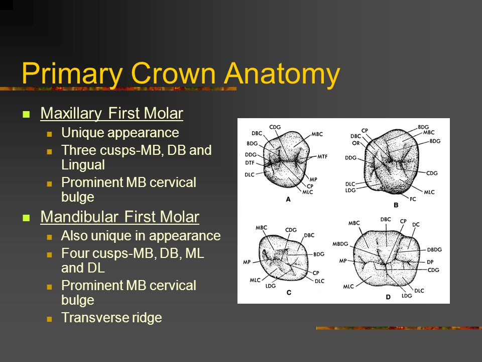 Primary Crown Anatomy Maxillary First Molar Unique appearance Three cusps-MB, DB and Lingual Prominent MB cervical bulge Mandibular First Molar Also u