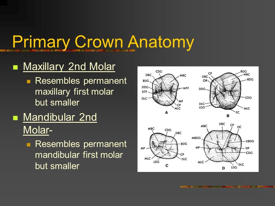 Primary Crown Anatomy Maxillary 2nd Molar Resembles permanent maxillary first molar but smaller Mandibular 2nd Molar- Resembles permanent mandibular f