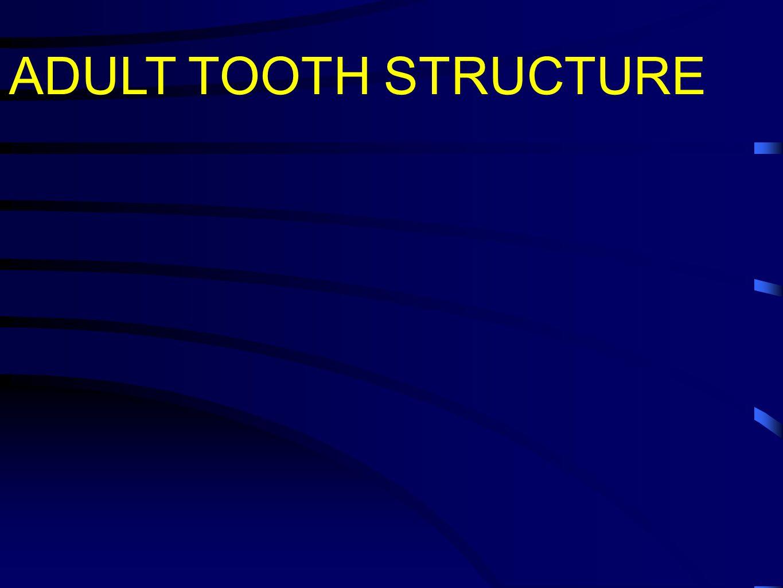http://www.histol.chuvashia.com/atlas-en/digestive-05-en.htm http://dentistry.ouhsc.edu/oral-histology/Chapter1/Chap1.html A - Odontoblasts; B - Predentin; C - Ameloblasts; D - Dentin; E - Enamel A C D B E 1 - Ameloblasts; 2 - Enamel; 3 - Dentin; 4 - Odontoblasts; 5 - Pulp 21.