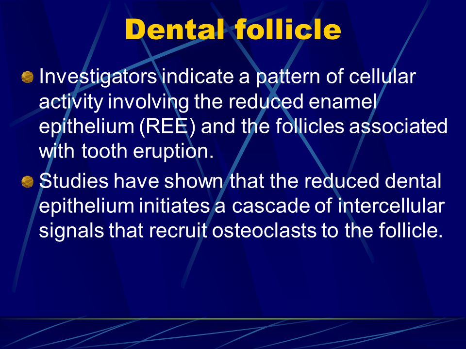 Dental follicle Investigators indicate a pattern of cellular activity involving the reduced enamel epithelium (REE) and the follicles associated with