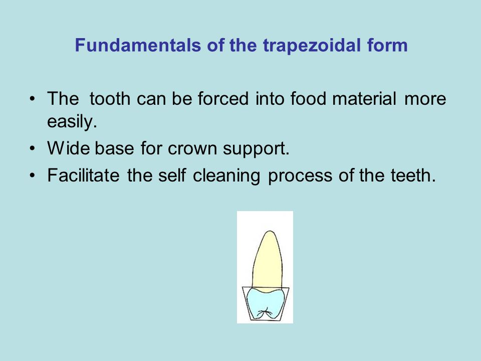 Fundamentals of the trapezoidal form The tooth can be forced into food material more easily. Wide base for crown support. Facilitate the self cleaning