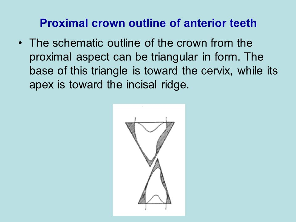 Proximal crown outline of anterior teeth The schematic outline of the crown from the proximal aspect can be triangular in form. The base of this trian