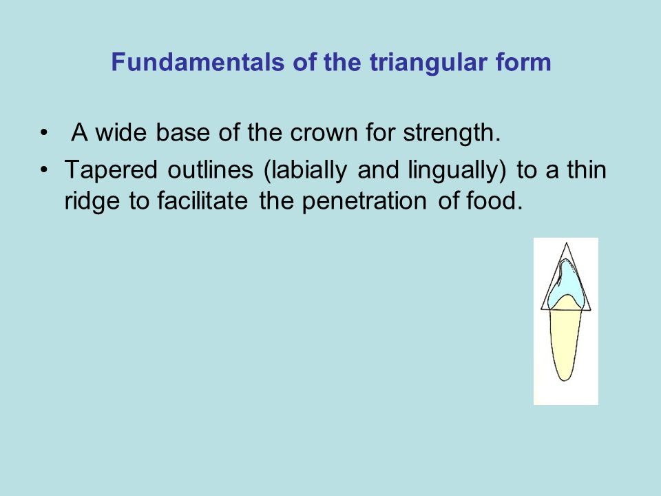 Fundamentals of the triangular form A wide base of the crown for strength. Tapered outlines (labially and lingually) to a thin ridge to facilitate the