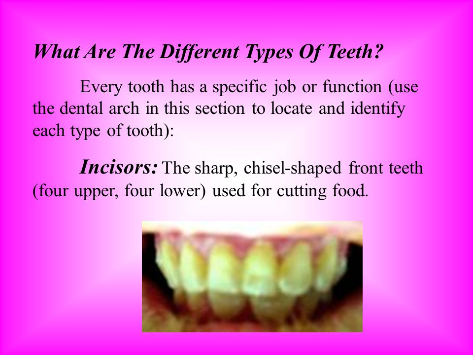 What Are The Different Types Of Teeth? Every tooth has a specific job or function (use the dental arch in this section to locate and identify each typ