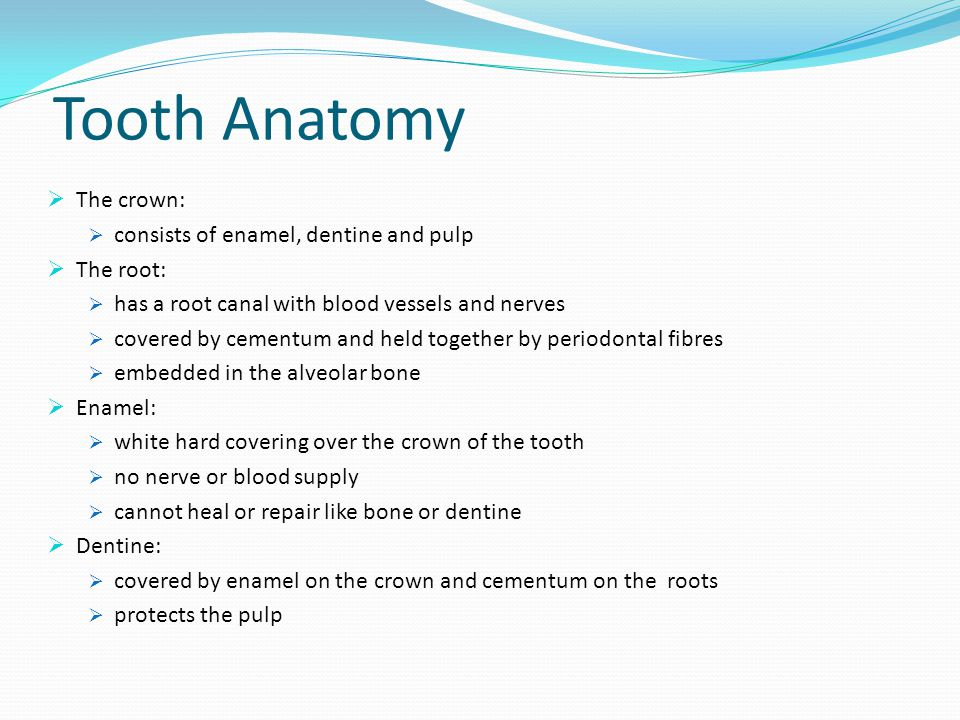 Tooth Anatomy continued Pulp: Consists of nerves, blood vessels and connective tissue Found in pulp chamber and root canal Anastomoses between venules and arterioles Cementum: Covers the dentine of the root Attached to the periodontal ligament No nerve supply