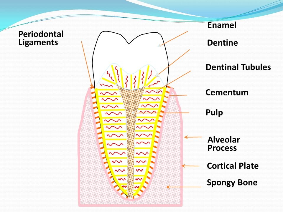Root Canal System Pulp chamber is found on the coronal part of the tooth Reduces in size with age due to secondary dentine due to physiological or pathological reasons Orifices to the root canal are found on the floor of the pulp chamber Canals taper towards the apex The narrowest part of the canal is found at the apical constriction, which opens out as the apical foramen and exists to one side i.e.