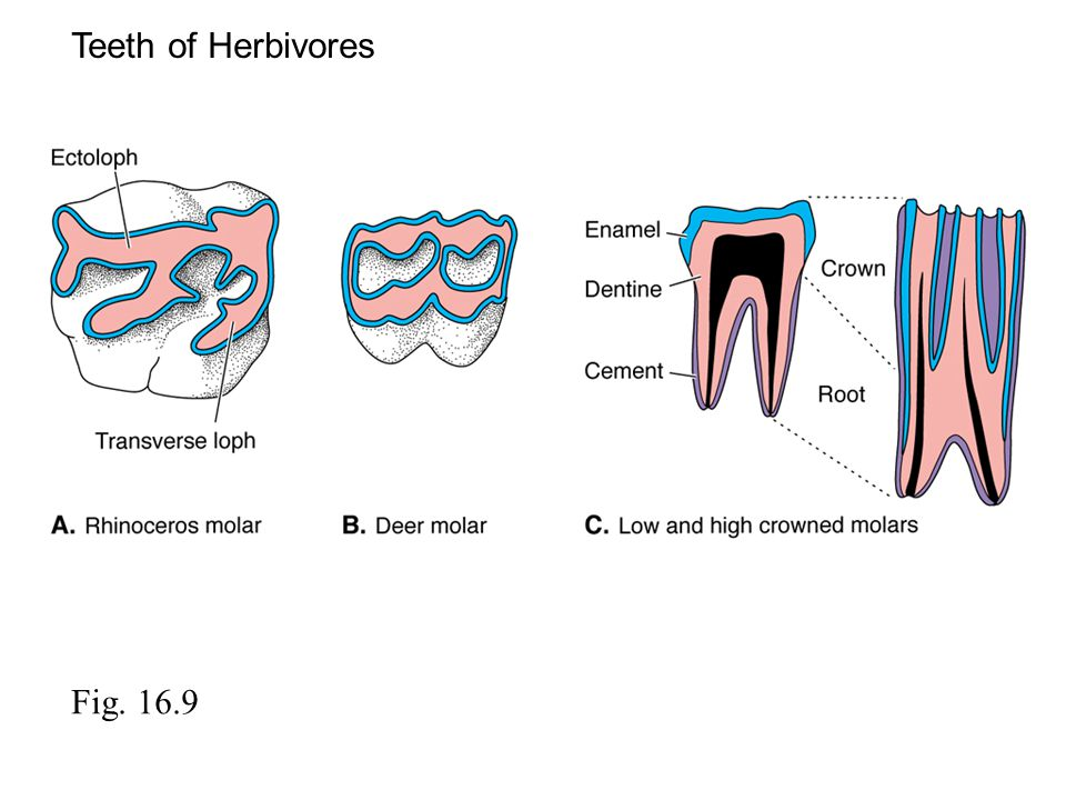 Fig. 16.9 Teeth of Herbivores
