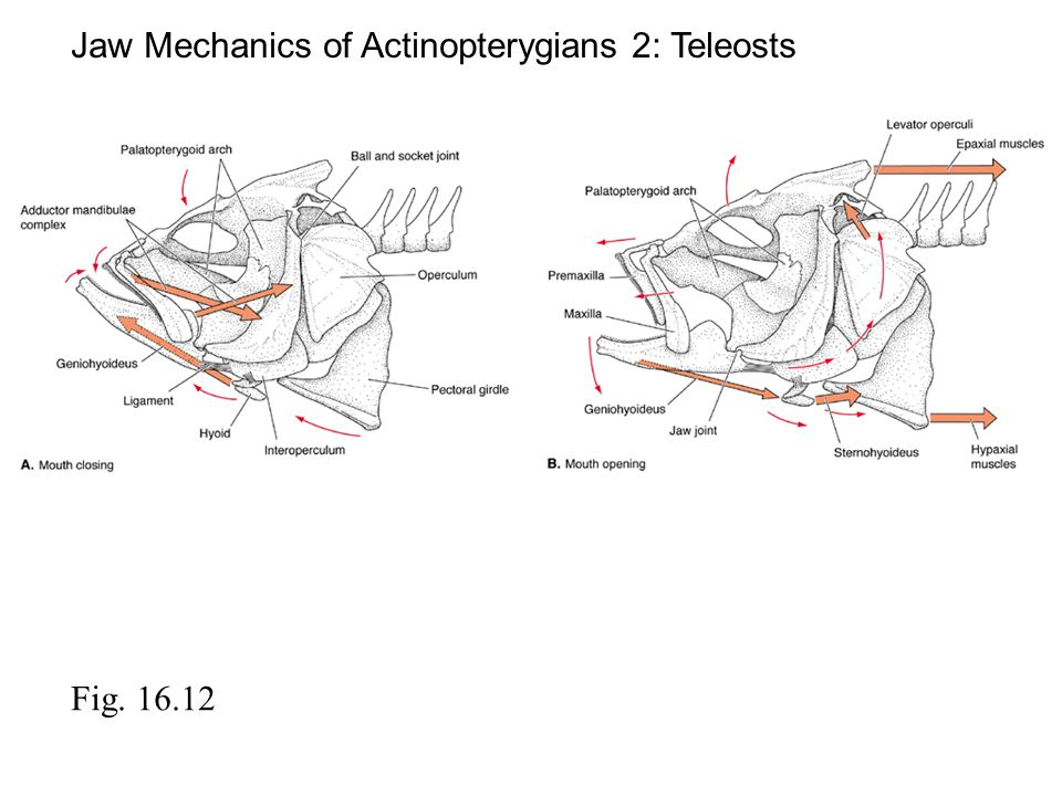 Fig. 16.12 Jaw Mechanics of Actinopterygians 2: Teleosts
