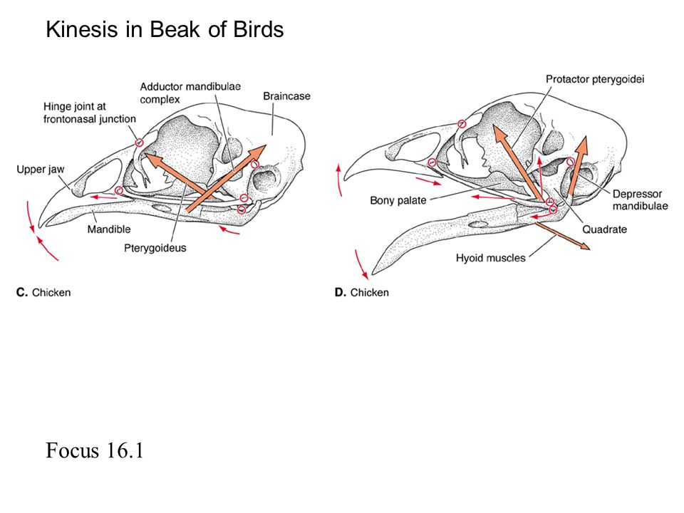 Focus 16.1 Kinesis in Beak of Birds