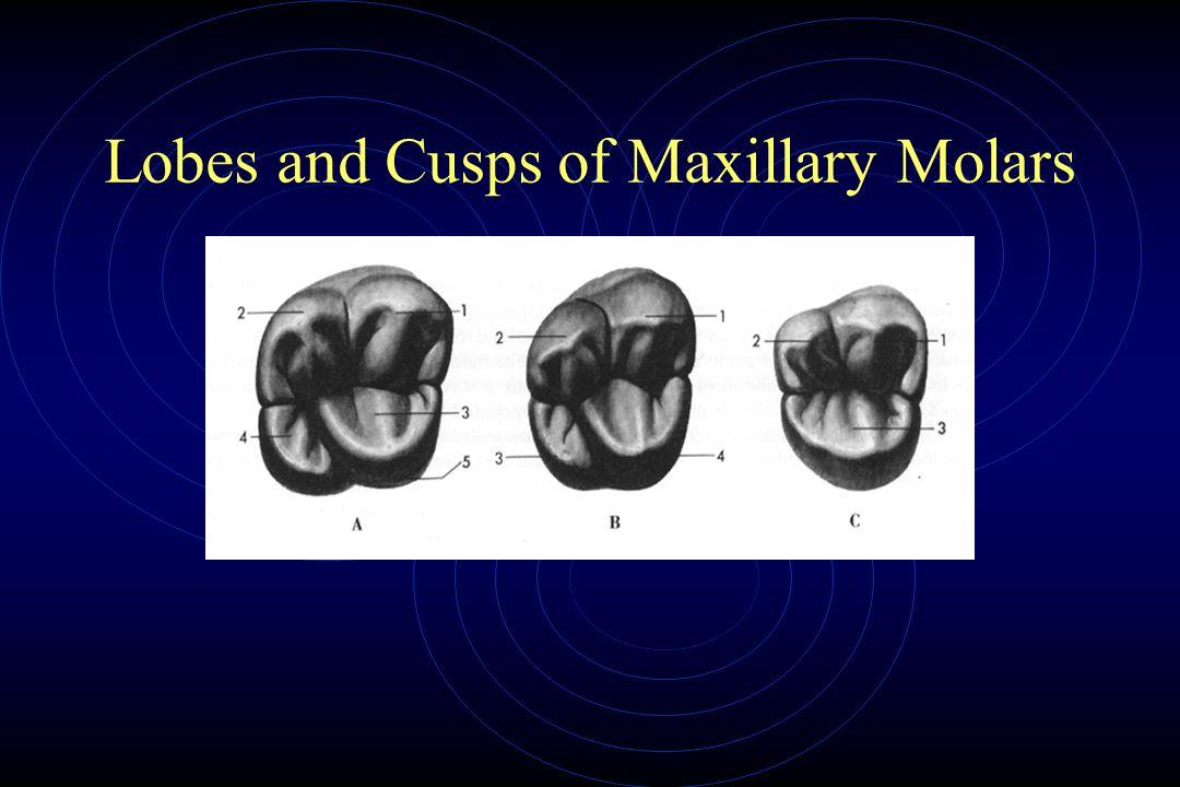 Lobes and Cusps of Maxillary Molars