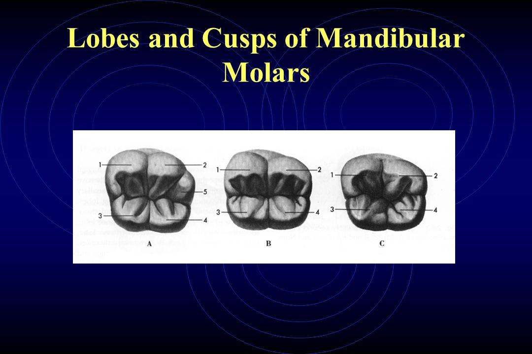 Lobes and Cusps of Mandibular Molars