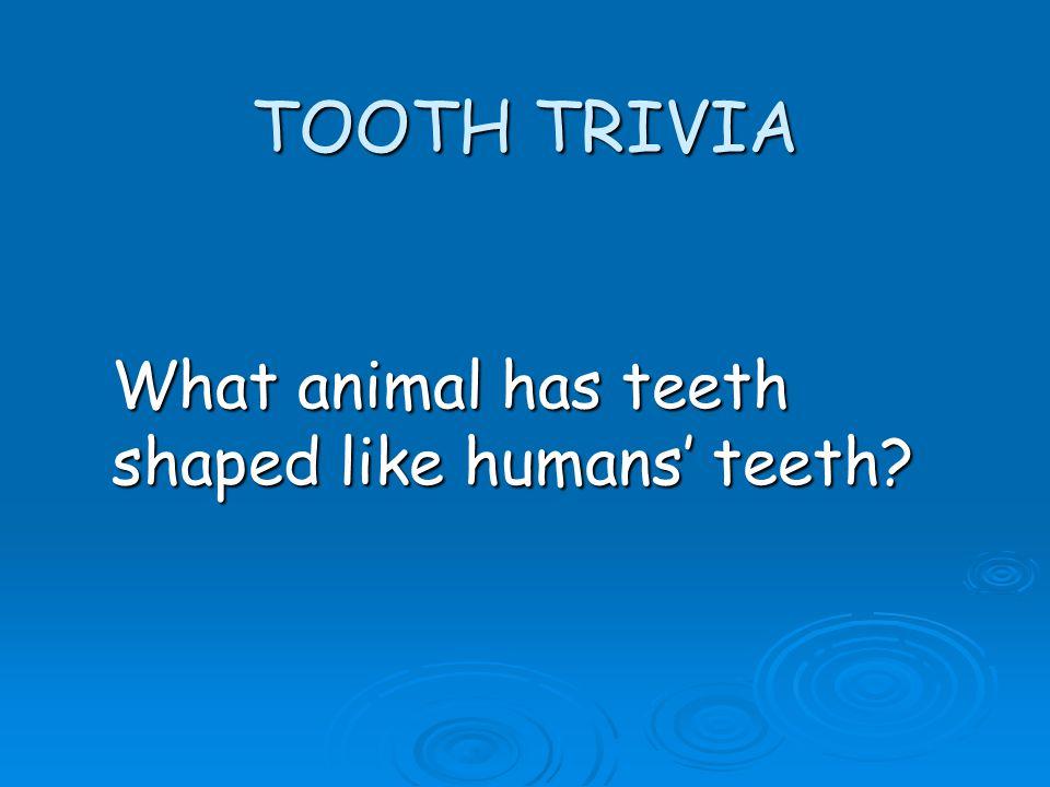 TOOTH TRIVIA What animal has teeth shaped like humans teeth?