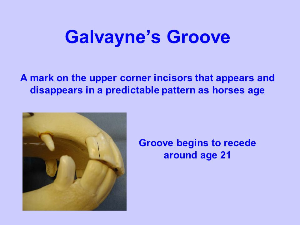 Galvaynes Groove A mark on the upper corner incisors that appears and disappears in a predictable pattern as horses age Groove begins to recede around