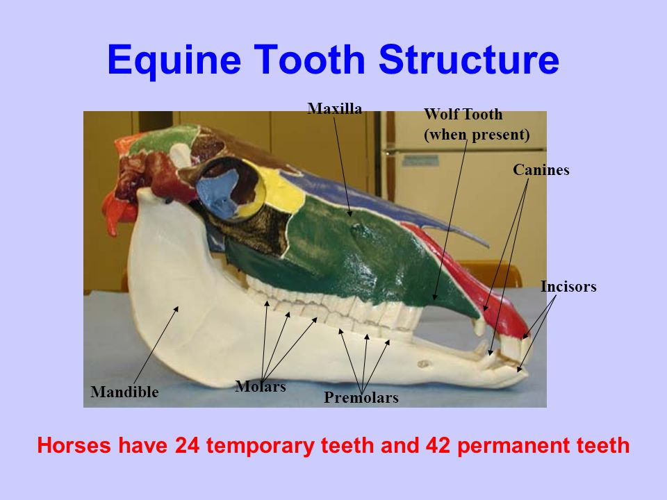 Equine Tooth Structure Age is determined using the 12 front teeth (incisors) Central Incisors (also pincers or nippers) Intermediate Incisors Corner Incisors