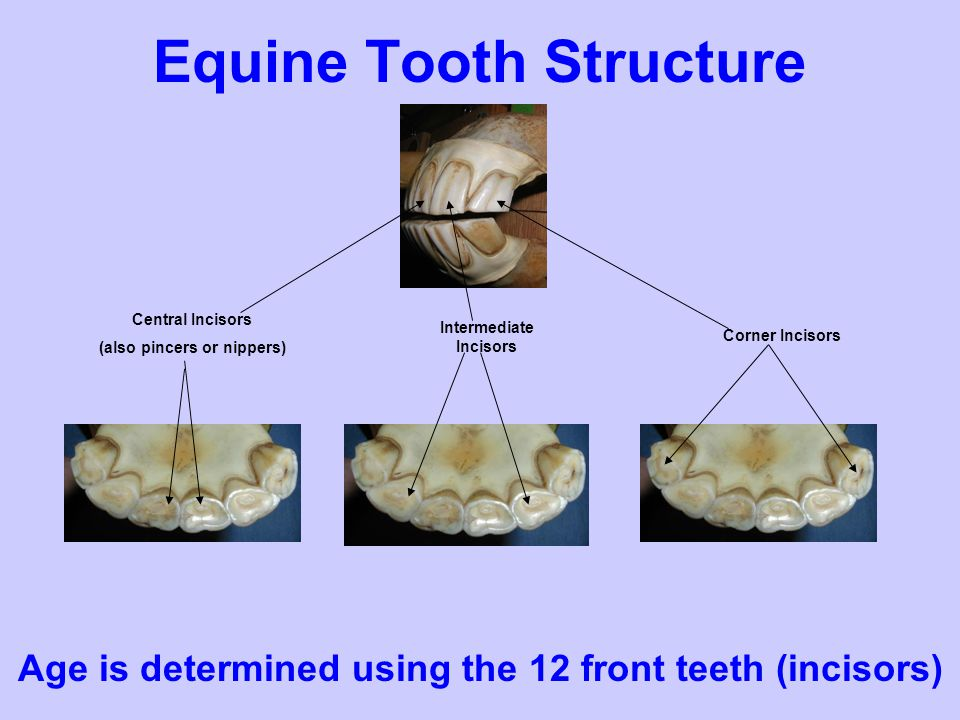 Aging Using Teeth Determine the most likely age for the following horse 1.1 year 2.8 years 3.17 years 4.26 years Oval Shaped Teeth No Canines