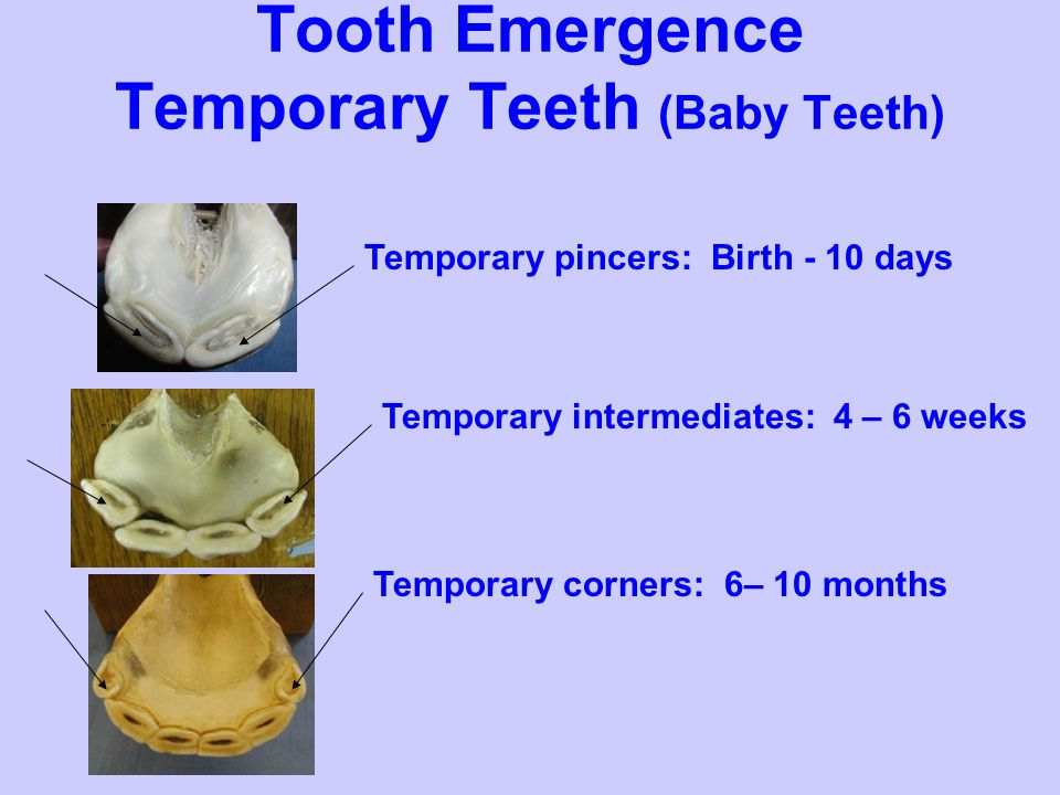 Tooth Emergence Permanent Teeth 6 years old Canine teeth appear: 4-5 years Permanent corners: 4 ½ years Permanent intermediates: 3 ½ years Permanent pincers: 2 ½ years