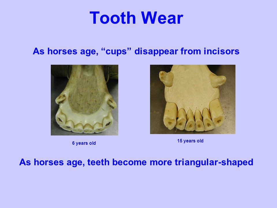 Tooth Wear As horses age, cups disappear from incisors As horses age, teeth become more triangular-shaped 15 years old 6 years old