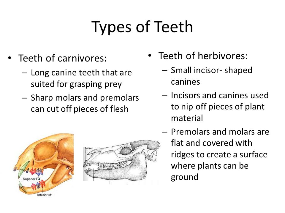 Types of Teeth Teeth of carnivores: – Long canine teeth that are suited for grasping prey – Sharp molars and premolars can cut off pieces of flesh Tee