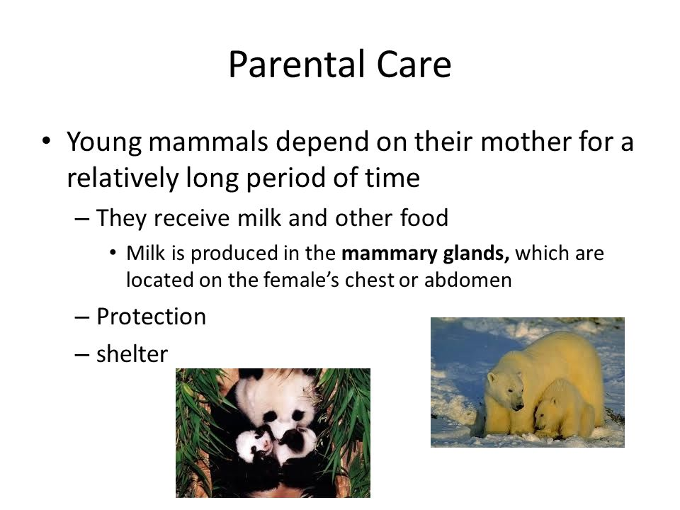 Parental Care Young mammals depend on their mother for a relatively long period of time – They receive milk and other food Milk is produced in the mam