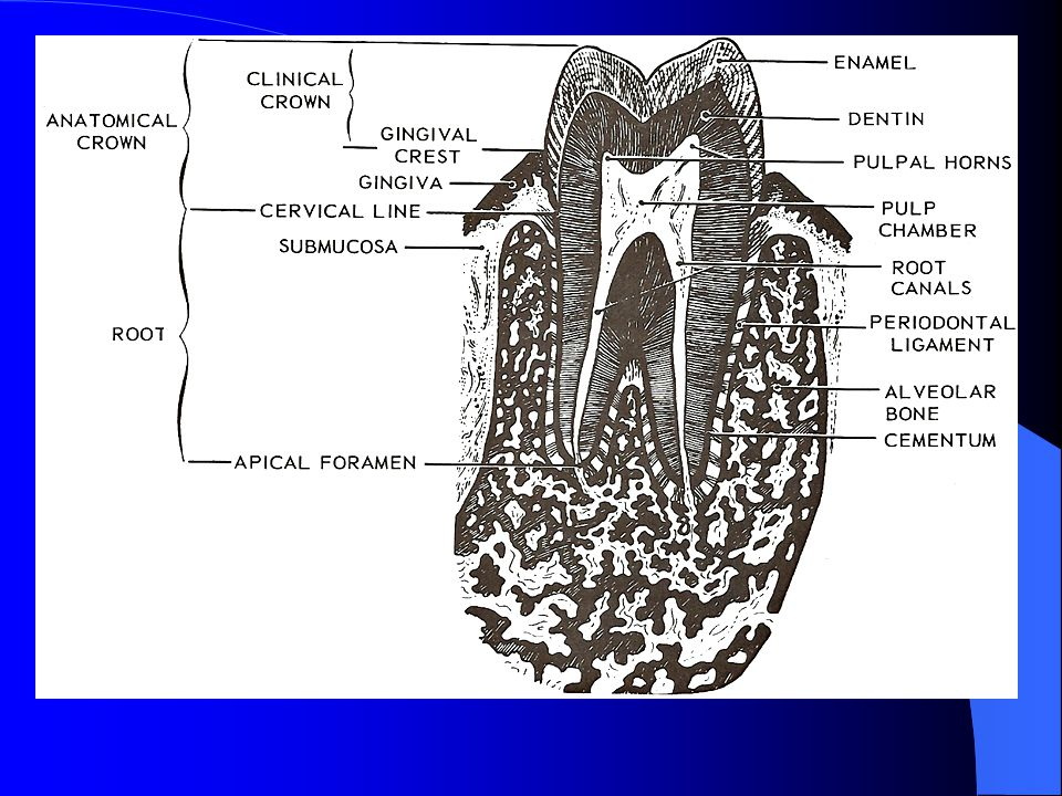 Gingiva: The gingiva is the specialized mucous membrane covering the alveolar processes and encircling the necks of the teeth.
