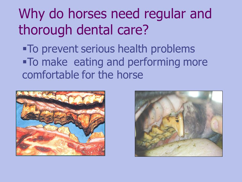 Why do horses need regular and thorough dental care? To prevent serious health problems To make eating and performing more comfortable for the horse