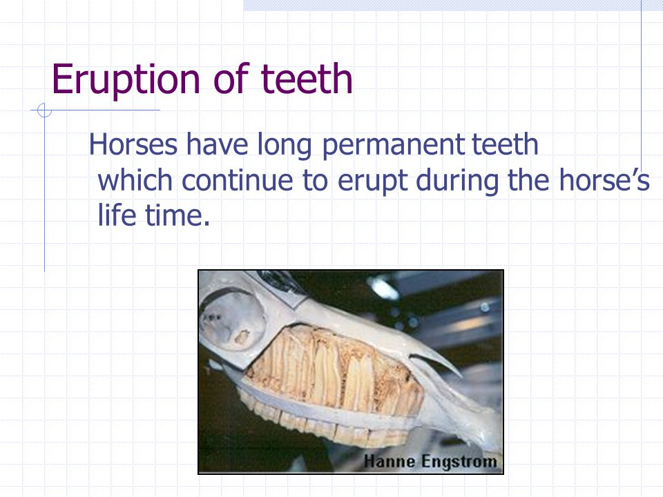 Eruption of teeth Horses have long permanent teeth which continue to erupt during the horses life time.