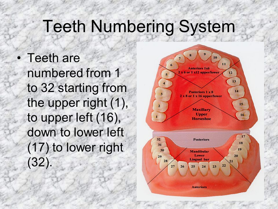 Teeth Numbering System Teeth are numbered from 1 to 32 starting from the upper right (1), to upper left (16), down to lower left (17) to lower right (