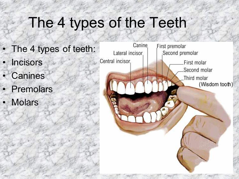 The 4 types of the Teeth The 4 types of teeth: Incisors Canines Premolars Molars