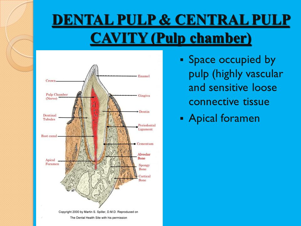 DENTAL PULP & CENTRAL PULP CAVITY (Pulp chamber) Space occupied by pulp (highly vascular and sensitive loose connective tissue Apical foramen
