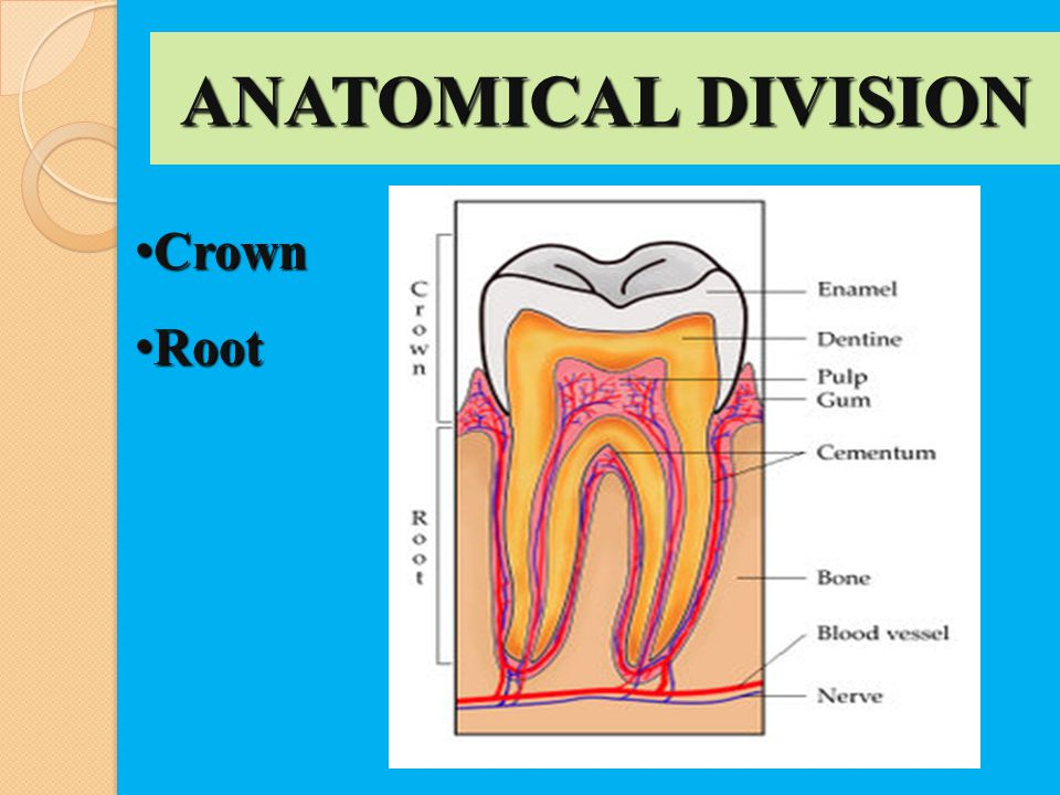 ANATOMICAL DIVISION Crown Crown Root Root