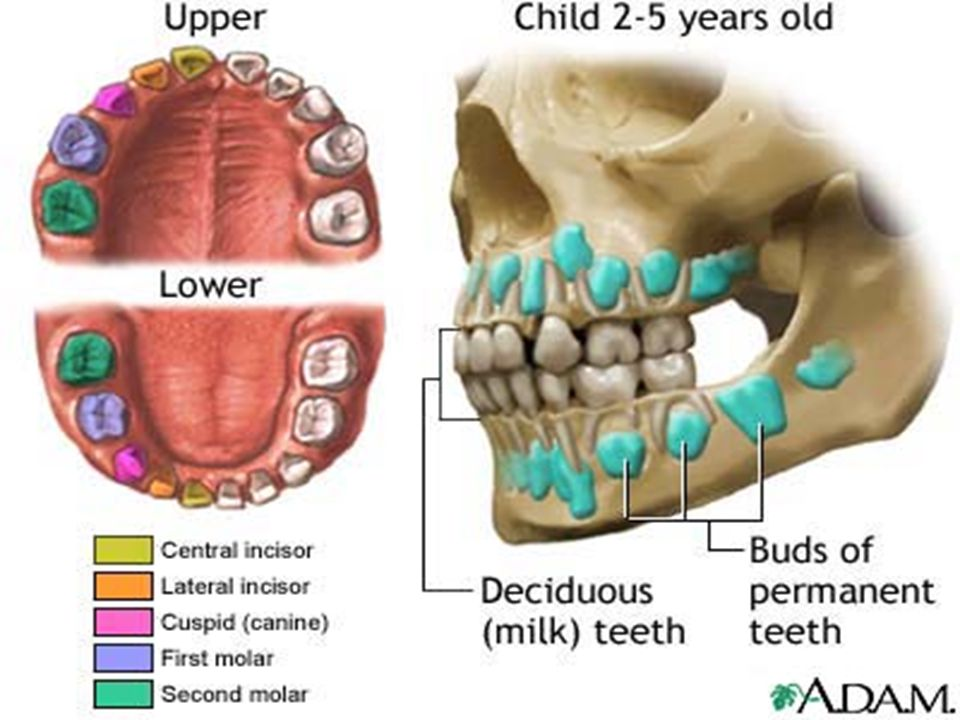 ENAMEL Acellular mineralized tissue that covers the crown of tooth Hardest substance in the body Once formed, can t be replaced 96-98% exist mainly as hydroxyapatite crystals