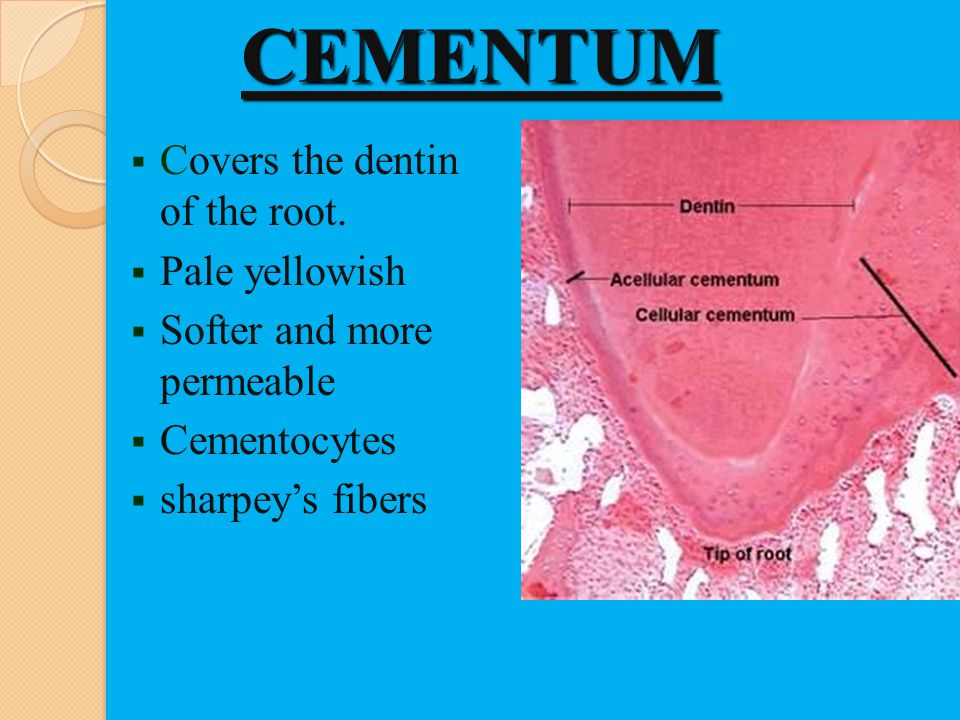 CEMENTUM Covers the dentin of the root. Pale yellowish Softer and more permeable Cementocytes sharpeys fibers