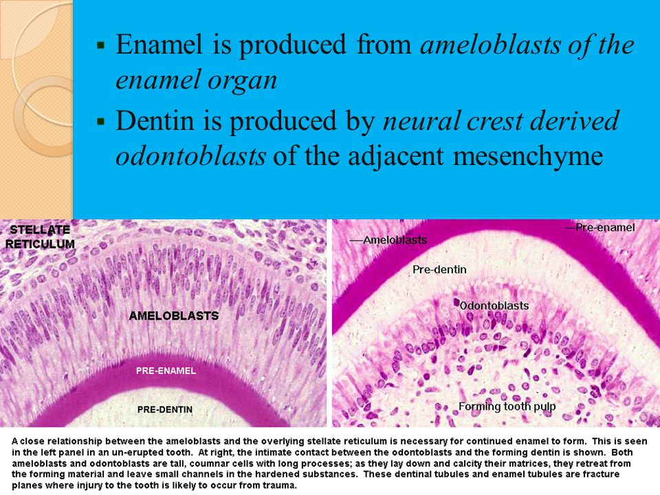 Enamel is produced from ameloblasts of the enamel organ Dentin is produced by neural crest derived odontoblasts of the adjacent mesenchyme
