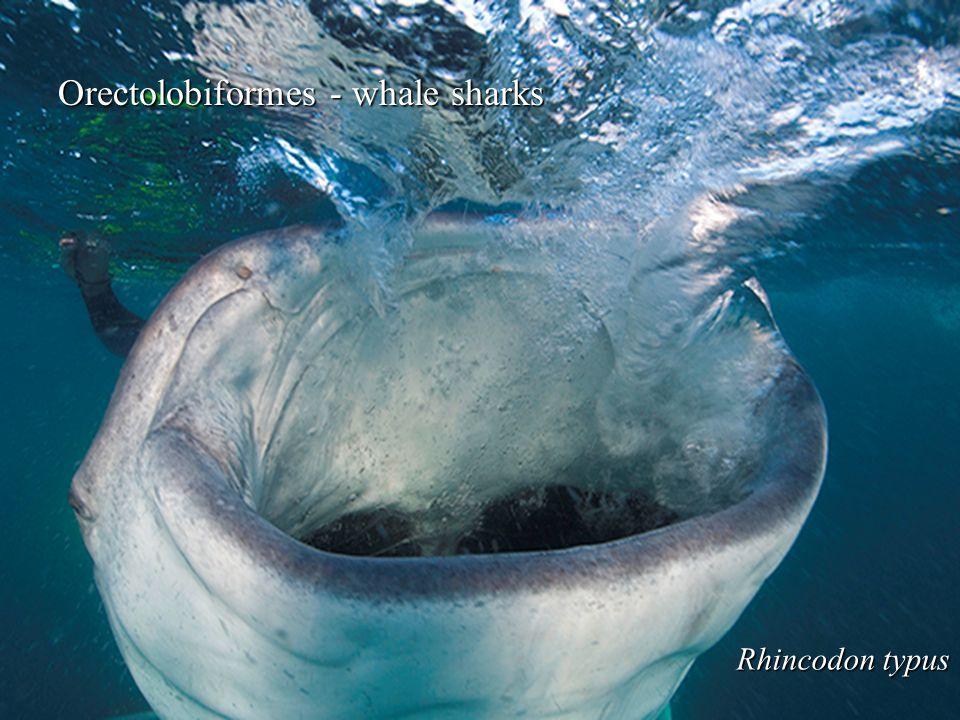 Orectolobiformes - whale sharks Rhincodon typus